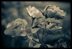 B & W Flowers 03