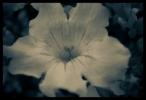 B & W Flowers 04
